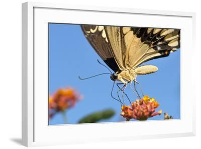 California. Anise Swallowtail Butterfly on Flower-Jaynes Gallery-Framed Photographic Print