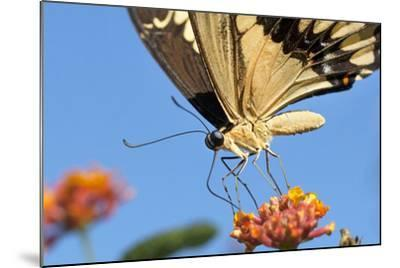 California. Anise Swallowtail Butterfly on Flower-Jaynes Gallery-Mounted Photographic Print