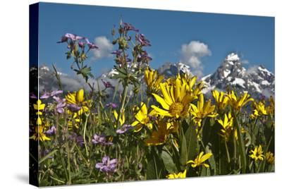 Wyoming, Grand Teton National Park. Mule's Ear and Sticky Geranium-Judith Zimmerman-Stretched Canvas Print
