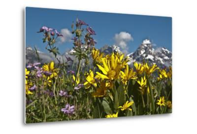 Wyoming, Grand Teton National Park. Mule's Ear and Sticky Geranium-Judith Zimmerman-Metal Print