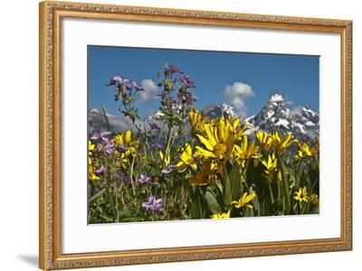 Wyoming, Grand Teton National Park. Mule's Ear and Sticky Geranium-Judith Zimmerman-Framed Photographic Print