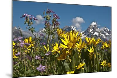 Wyoming, Grand Teton National Park. Mule's Ear and Sticky Geranium-Judith Zimmerman-Mounted Photographic Print