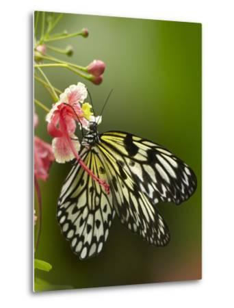 Large Tree Nymph Butterfly Drinking Nectar, Philippines-Tim Fitzharris-Metal Print