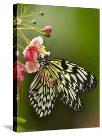 Large Tree Nymph Butterfly Drinking Nectar, Philippines-Tim Fitzharris-Stretched Canvas Print
