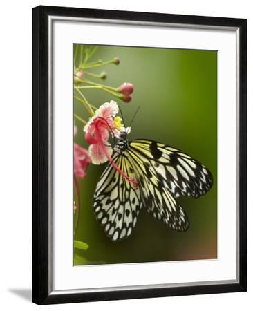 Large Tree Nymph Butterfly Drinking Nectar, Philippines-Tim Fitzharris-Framed Photographic Print