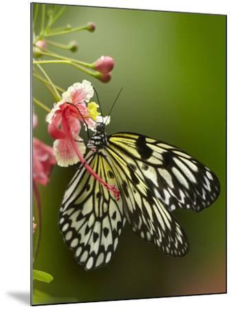 Large Tree Nymph Butterfly Drinking Nectar, Philippines-Tim Fitzharris-Mounted Photographic Print
