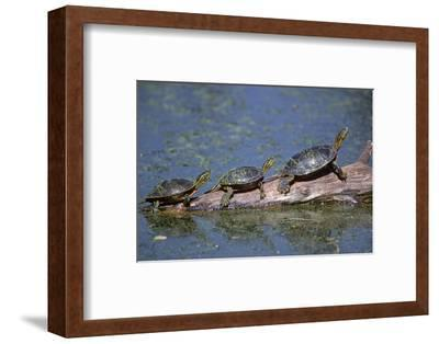 Western Painted Turtle, Two Sunning Themselves on a Log, National Bison Range, Montana, Usa-John Barger-Framed Photographic Print