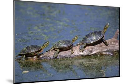 Western Painted Turtle, Two Sunning Themselves on a Log, National Bison Range, Montana, Usa-John Barger-Mounted Photographic Print