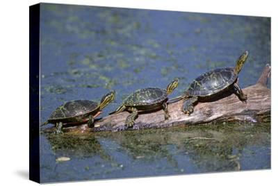 Western Painted Turtle, Two Sunning Themselves on a Log, National Bison Range, Montana, Usa-John Barger-Stretched Canvas Print