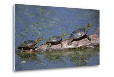 Western Painted Turtle, Two Sunning Themselves on a Log, National Bison Range, Montana, Usa-John Barger-Metal Print