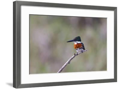 Green Kingfisher Male on Hunting Perch-Larry Ditto-Framed Photographic Print