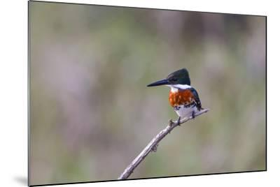 Green Kingfisher Male on Hunting Perch-Larry Ditto-Mounted Photographic Print