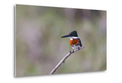 Green Kingfisher Male on Hunting Perch-Larry Ditto-Metal Print