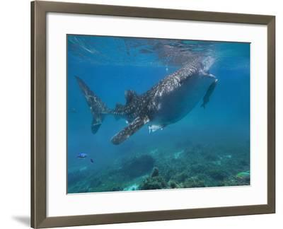 Whale Shark with a Remora Feeding at Surface, Oslob, Cebu, Philippines-Tim Fitzharris-Framed Photographic Print
