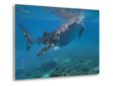 Whale Shark with a Remora Feeding at Surface, Oslob, Cebu, Philippines-Tim Fitzharris-Metal Print