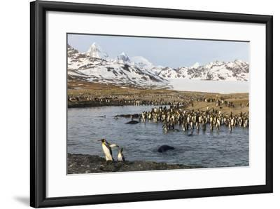 St. Andrew's Bay, South Georgia Island. King Penguins Cross a Stream-Jaynes Gallery-Framed Photographic Print