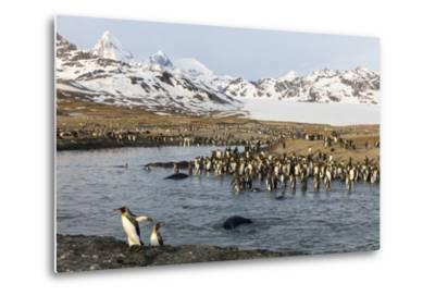 St. Andrew's Bay, South Georgia Island. King Penguins Cross a Stream-Jaynes Gallery-Metal Print