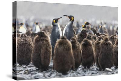 South Georgia Island, Salisbury Plains. Adult King Penguins Amid Juveniles During Rainstorm-Jaynes Gallery-Stretched Canvas Print
