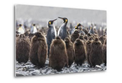 South Georgia Island, Salisbury Plains. Adult King Penguins Amid Juveniles During Rainstorm-Jaynes Gallery-Metal Print
