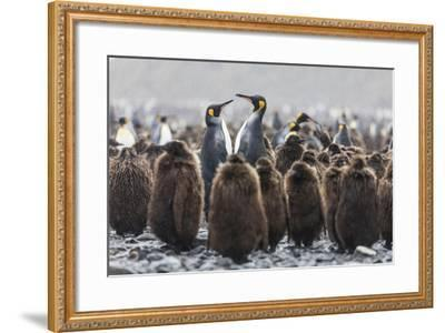 South Georgia Island, Salisbury Plains. Adult King Penguins Amid Juveniles During Rainstorm-Jaynes Gallery-Framed Photographic Print