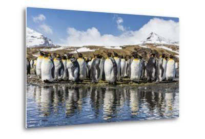 South Georgia Island, Salisbury Plains. Group of Molting King Penguins Reflect in Stream-Jaynes Gallery-Metal Print