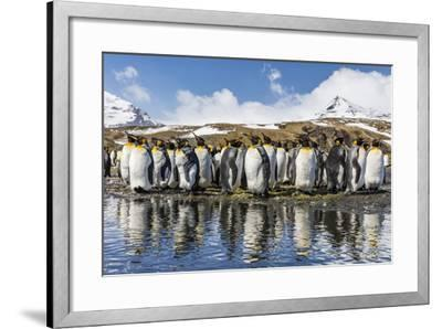 South Georgia Island, Salisbury Plains. Group of Molting King Penguins Reflect in Stream-Jaynes Gallery-Framed Photographic Print