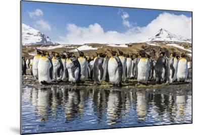 South Georgia Island, Salisbury Plains. Group of Molting King Penguins Reflect in Stream-Jaynes Gallery-Mounted Photographic Print
