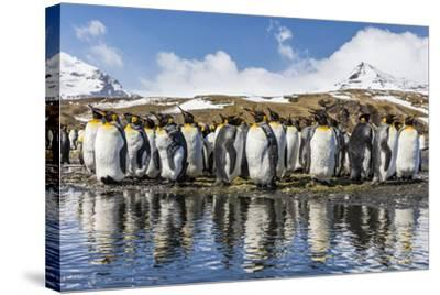 South Georgia Island, Salisbury Plains. Group of Molting King Penguins Reflect in Stream-Jaynes Gallery-Stretched Canvas Print