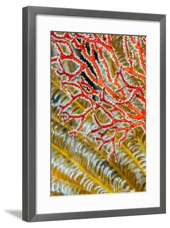 Indonesia, West Papua, Raja Ampat. Crinoids and Sea Fan-Jaynes Gallery-Framed Photographic Print
