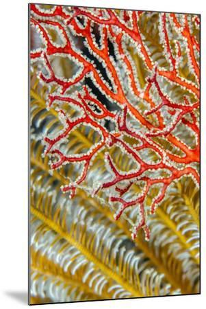 Indonesia, West Papua, Raja Ampat. Crinoids and Sea Fan-Jaynes Gallery-Mounted Photographic Print