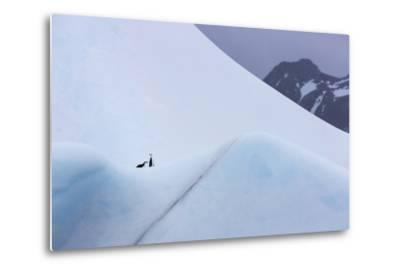 South Georgia Island. Chinstrap Penguins Ride an Iceberg as it Floats by Mountain-Jaynes Gallery-Metal Print