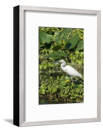 Florida, Orange City, St. John River, Egret-Jim Engelbrecht-Framed Photographic Print