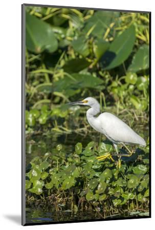Florida, Orange City, St. John River, Egret-Jim Engelbrecht-Mounted Photographic Print