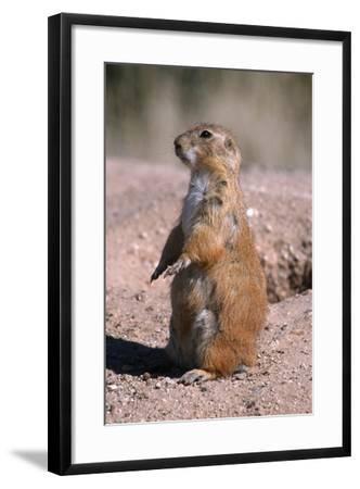 Black-Tailed Prairie Dog Standing, Badlands National Park, South Dakota, Usa-John Barger-Framed Photographic Print