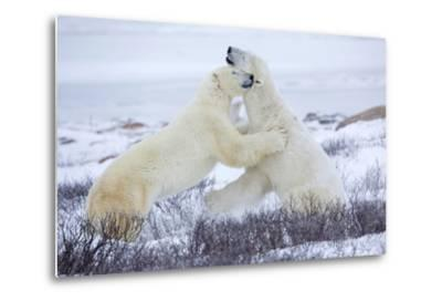 Polar Bears Sparring in Churchill Wildlife Management Area, Churchill, Manitoba, Canada-Richard and Susan Day-Metal Print