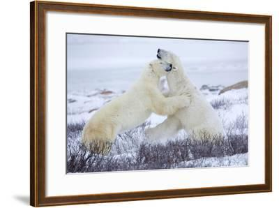 Polar Bears Sparring in Churchill Wildlife Management Area, Churchill, Manitoba, Canada-Richard and Susan Day-Framed Photographic Print