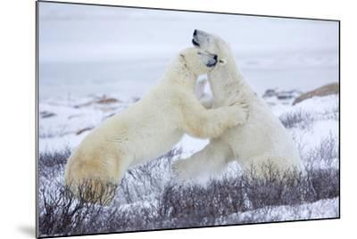 Polar Bears Sparring in Churchill Wildlife Management Area, Churchill, Manitoba, Canada-Richard and Susan Day-Mounted Photographic Print