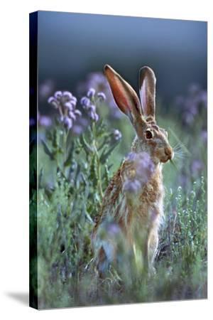 Blacktail Jackrabbit, Montana, Usa-Tim Fitzharris-Stretched Canvas Print