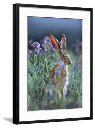 Blacktail Jackrabbit, Montana, Usa-Tim Fitzharris-Framed Photographic Print