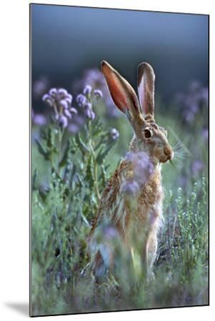 Blacktail Jackrabbit, Montana, Usa-Tim Fitzharris-Mounted Photographic Print