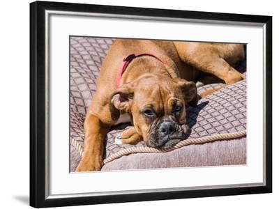 Boxer Waiting-Zandria Muench Beraldo-Framed Photographic Print
