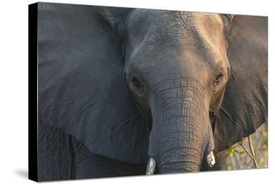 Botswana. Chobe National Park. Elephant-Inger Hogstrom-Stretched Canvas Print