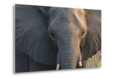 Botswana. Chobe National Park. Elephant-Inger Hogstrom-Metal Print