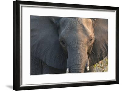 Botswana. Chobe National Park. Elephant-Inger Hogstrom-Framed Photographic Print