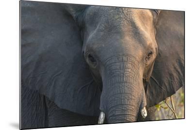 Botswana. Chobe National Park. Elephant-Inger Hogstrom-Mounted Photographic Print