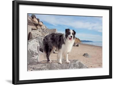 Border Collie Standing on Boulder at Beach-Zandria Muench Beraldo-Framed Photographic Print