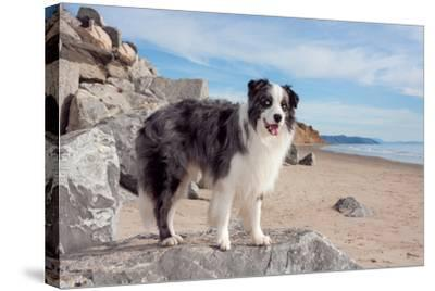 Border Collie Standing on Boulder at Beach-Zandria Muench Beraldo-Stretched Canvas Print