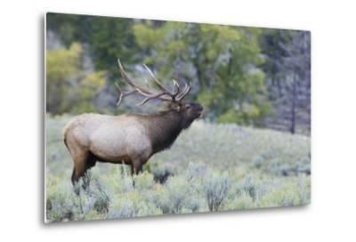 Rocky Mountain Bull Elk Bugling-Ken Archer-Metal Print