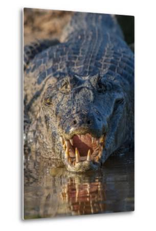 South America, Brazil, Cuiaba River, Pantanal Wetlands, Yacare Caiman with Open Mouth-Judith Zimmerman-Metal Print