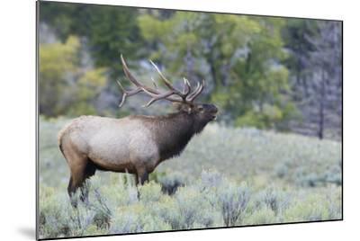 Rocky Mountain Bull Elk Bugling-Ken Archer-Mounted Photographic Print